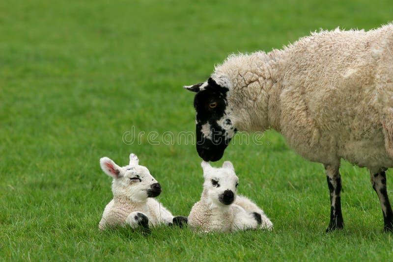 Moutons affectueux de mère avec les agneaux jumeaux photo stock