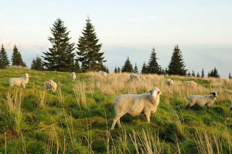 Moutons alimentant sur l'herbe photo libre de droits