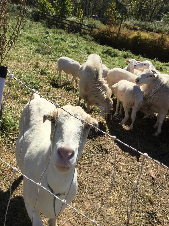 Moutons amicaux images stock