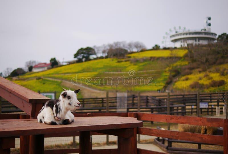 Moutons attendant quelque chose photo stock