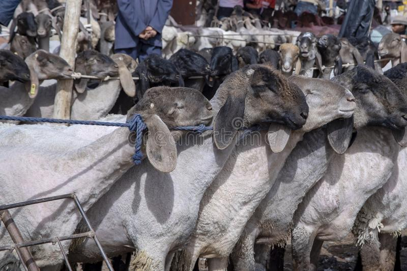Moutons au bazar de bétail de dimanche, Kachgar, Chine images libres de droits