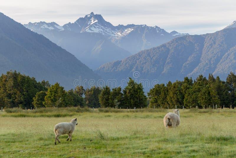 Moutons au-dessus de bâti Nouvelle-Zélande de Fox image stock
