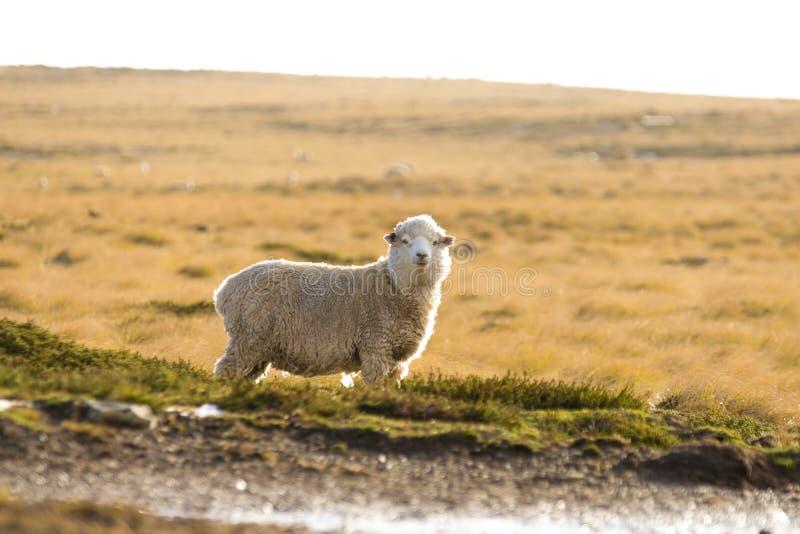 Moutons au pâturage Falkland Islands photographie stock