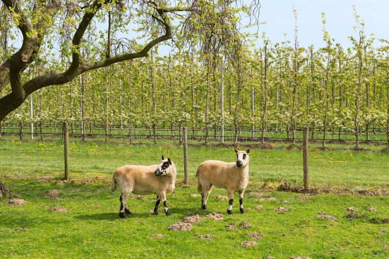 Moutons au printemps photographie stock