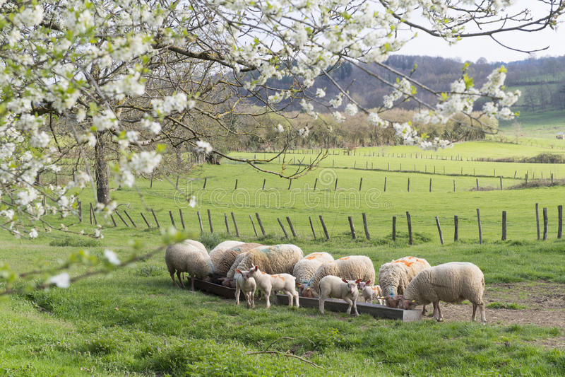 Moutons au printemps photo stock