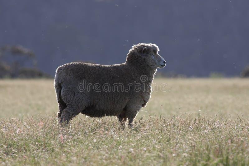 Moutons australiens photographie stock libre de droits
