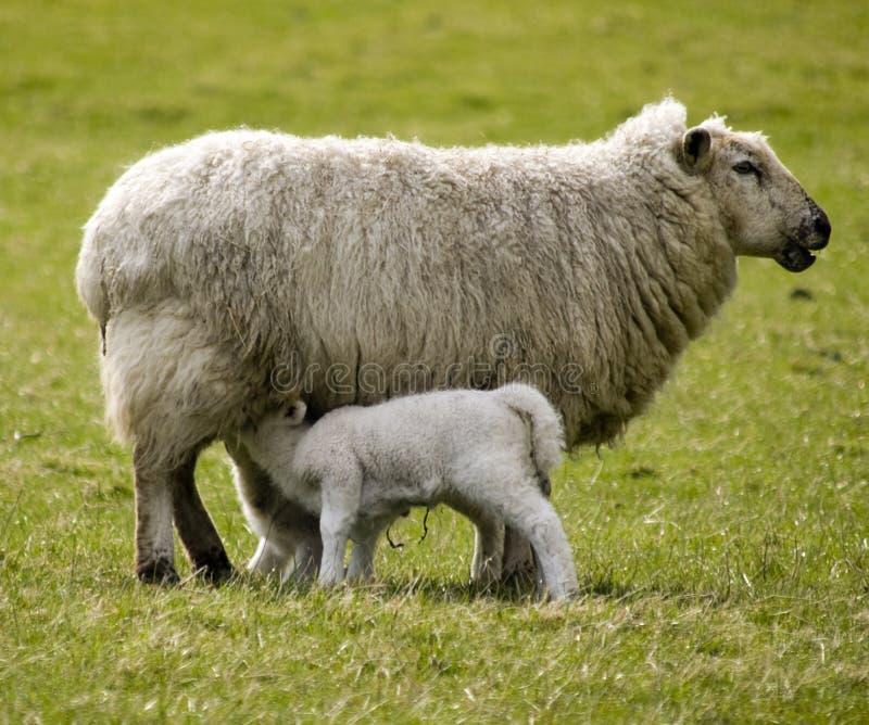 Moutons avec des agneaux images libres de droits