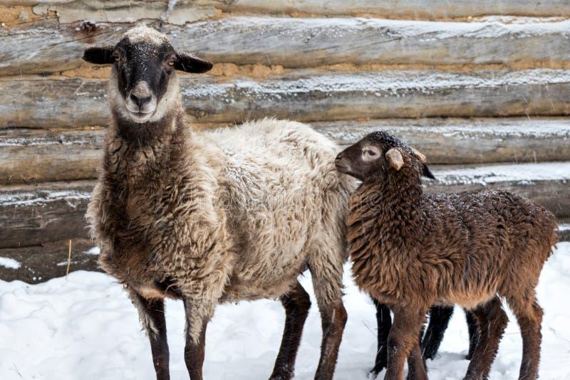 Moutons avec des agneaux dans les chutes de neige Hiver, petits agneaux avec un mouton près de la maison en bois image libre de droits