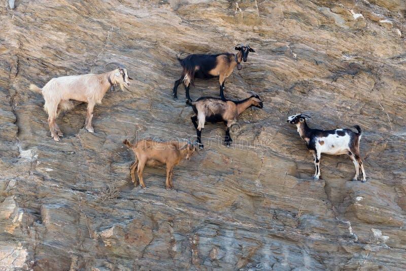 Moutons avec des klaxons s'élevant sur la montagne au-dessus de la plage I d'Agia Theodoti image stock