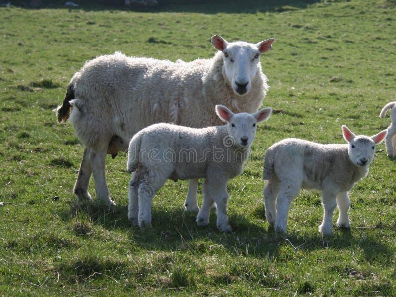 Moutons avec deux agneaux photographie stock