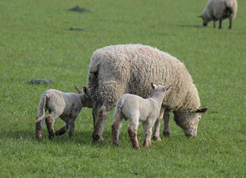 Moutons avec deux agneaux dans le domaine images stock