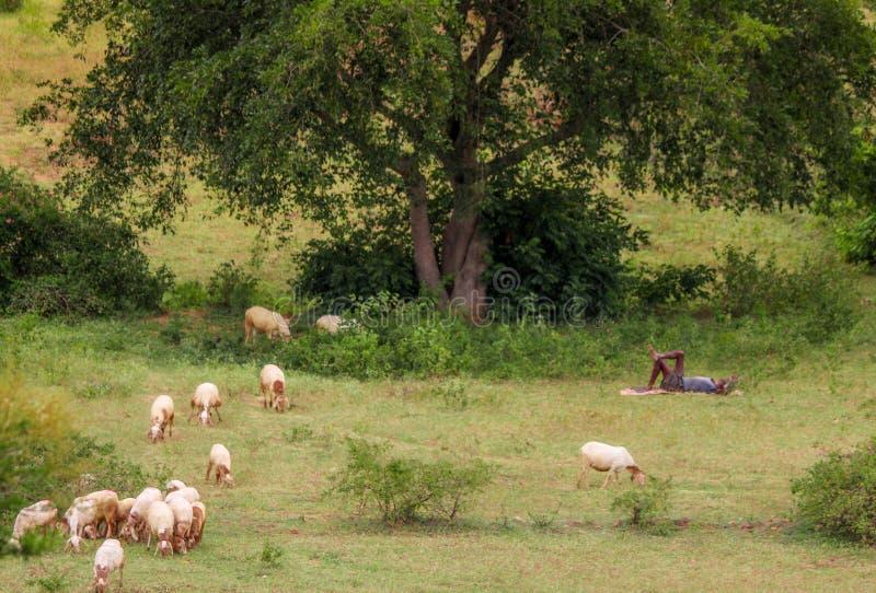 Moutons avec l'homme sous l'arbre photos libres de droits