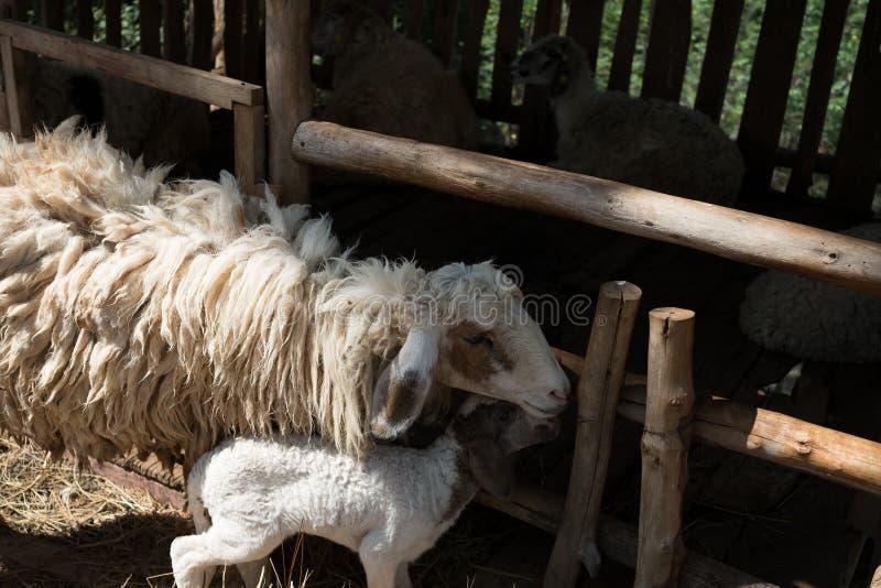 Moutons avec la cage image stock