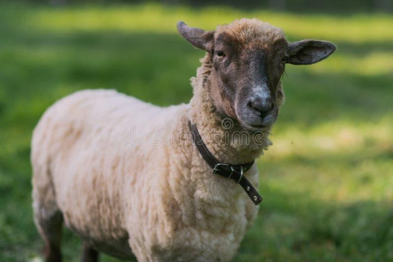 Moutons avec le collier photo libre de droits