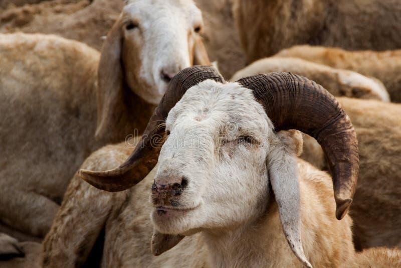 Moutons avec les klaxons incurvés photographie stock libre de droits