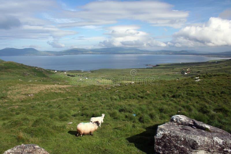 Moutons avec une vue images libres de droits