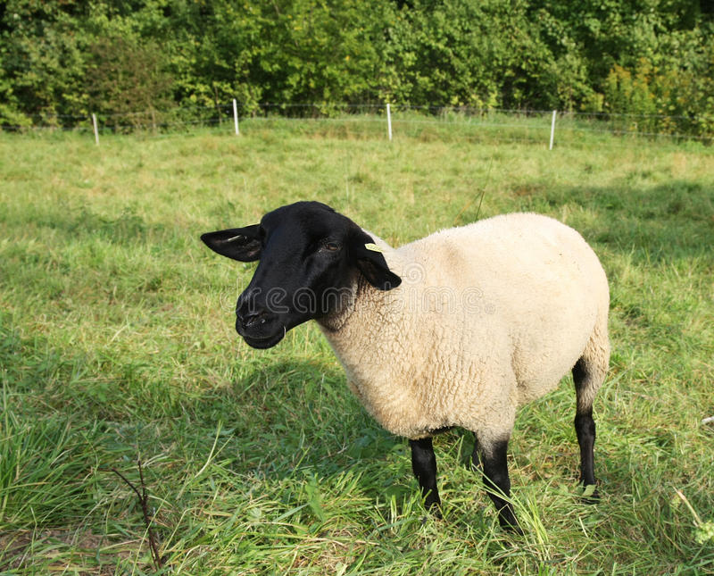 Moutons Black-faced photo stock