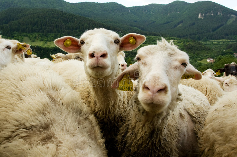 Moutons blancs photo stock