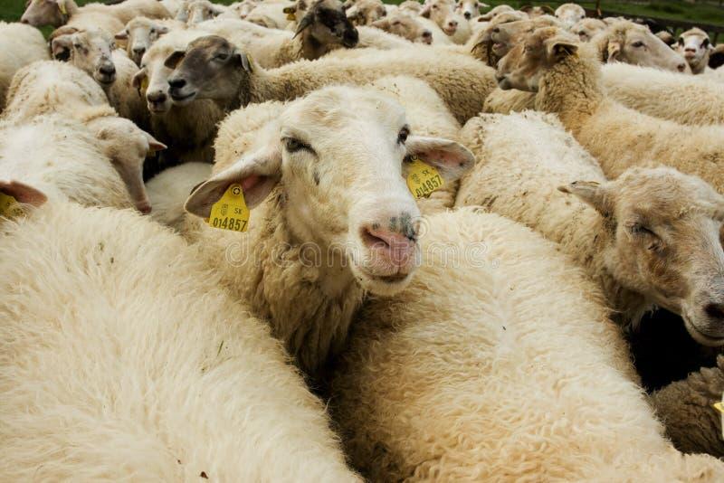 Moutons blancs photo libre de droits
