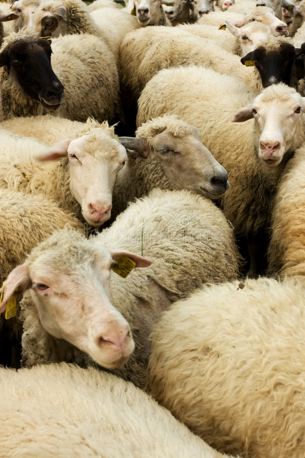 Moutons blancs images stock