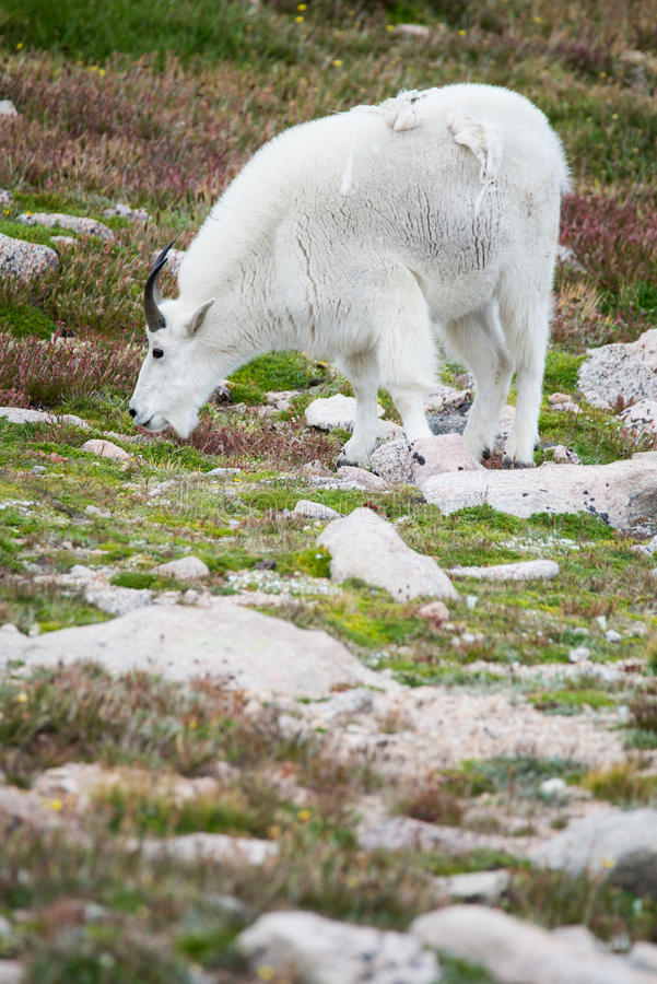 Moutons blancs de Big Horn - Rocky Mountain Goat images stock