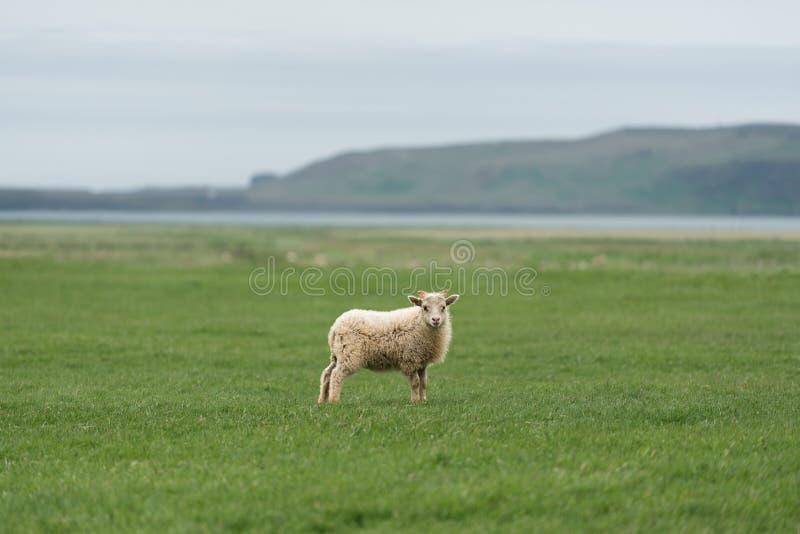Moutons blancs sur un champ vert en Islande image stock