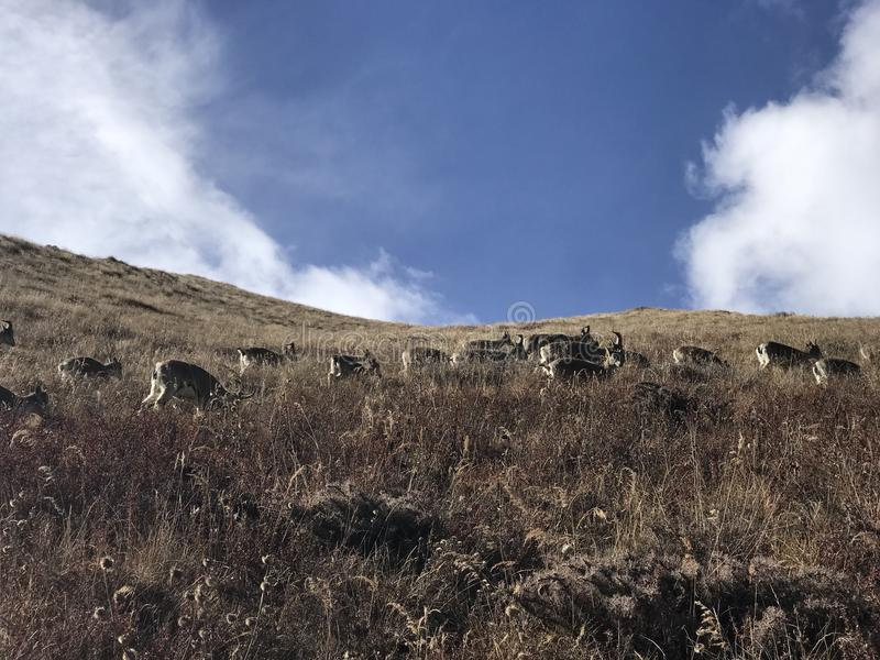 moutons bleus photographie stock