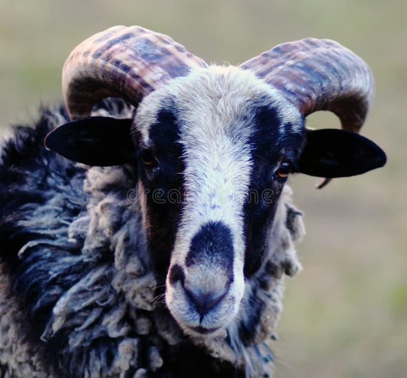 Moutons bleus avec des hornes images stock