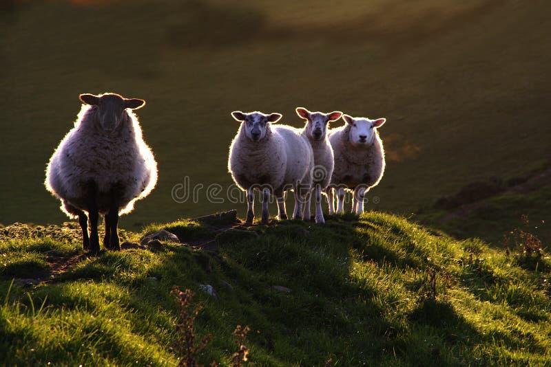 Moutons contre éclairés images stock
