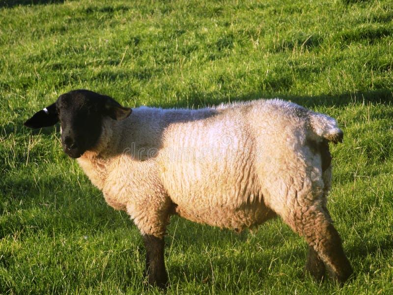 Moutons @ Crookham, le Northumberland, Angleterre photos stock