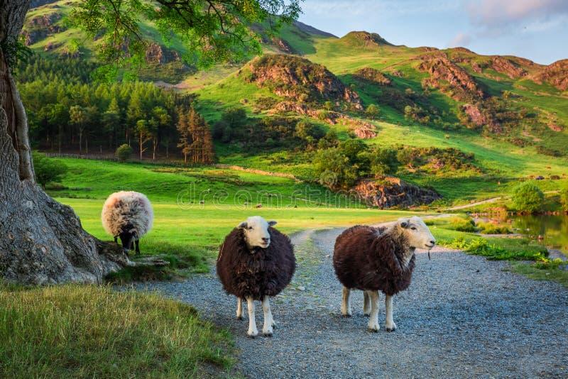 Moutons curieux sur le pâturage au coucher du soleil dans le secteur de lac, Angleterre image libre de droits