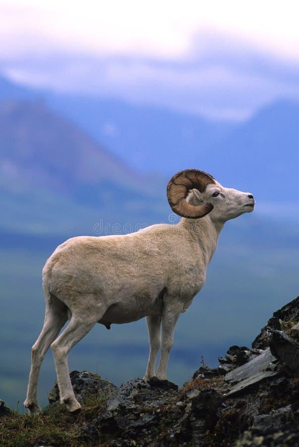 moutons d'arête de mémoire vive de dall images stock