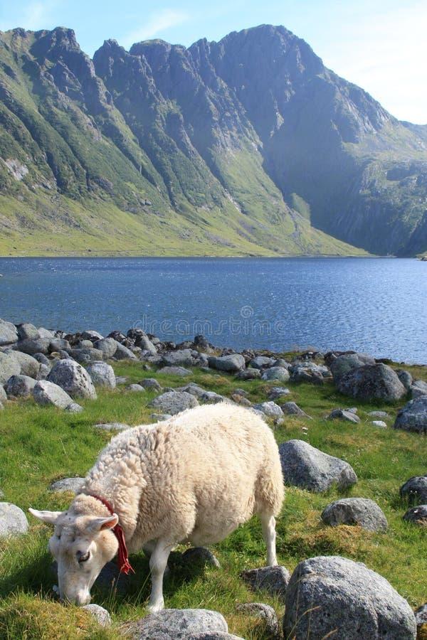 Moutons d'Eggum images stock