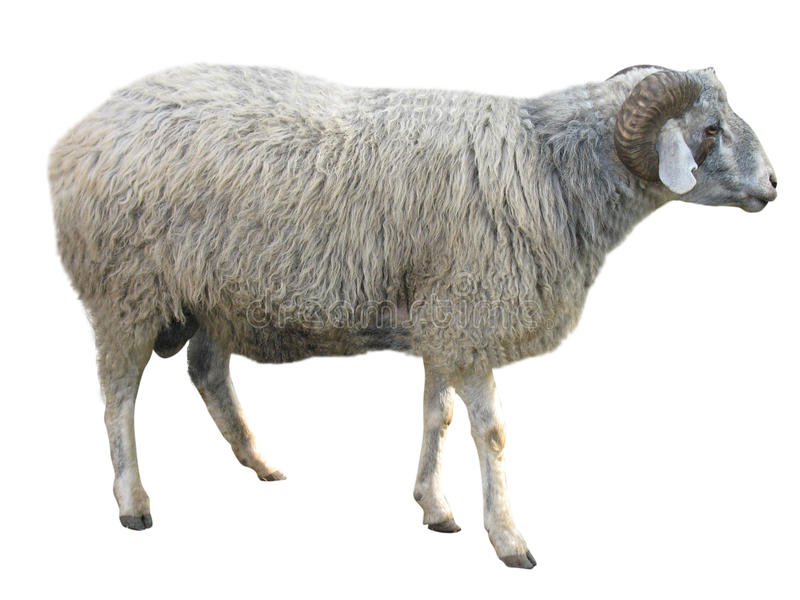Moutons d'isolement au-dessus du blanc photo libre de droits