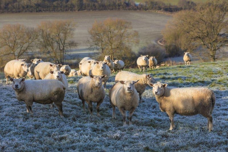 Moutons dans Frosty Field images libres de droits