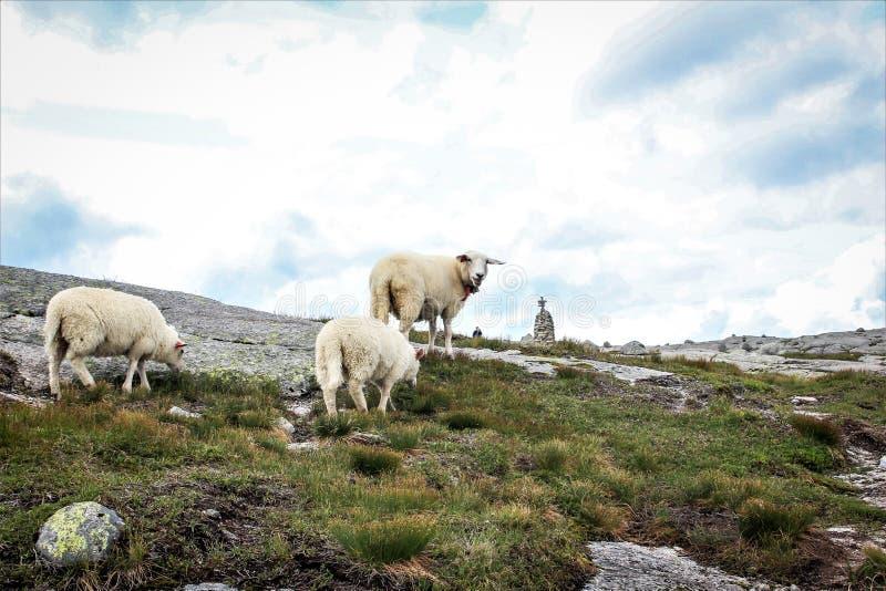 Moutons dans Kjerag, Norvège images libres de droits
