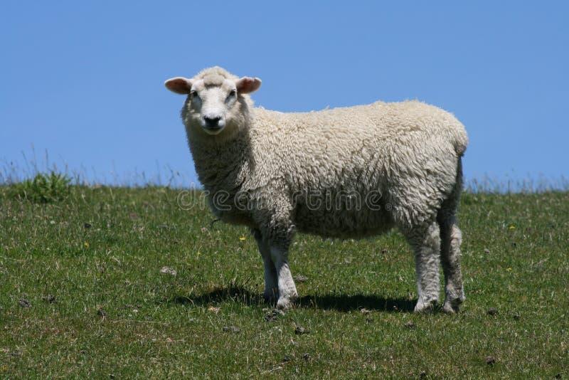 Moutons dans l'herbe regardant le ciel bleu d'appareil-photo photographie stock libre de droits