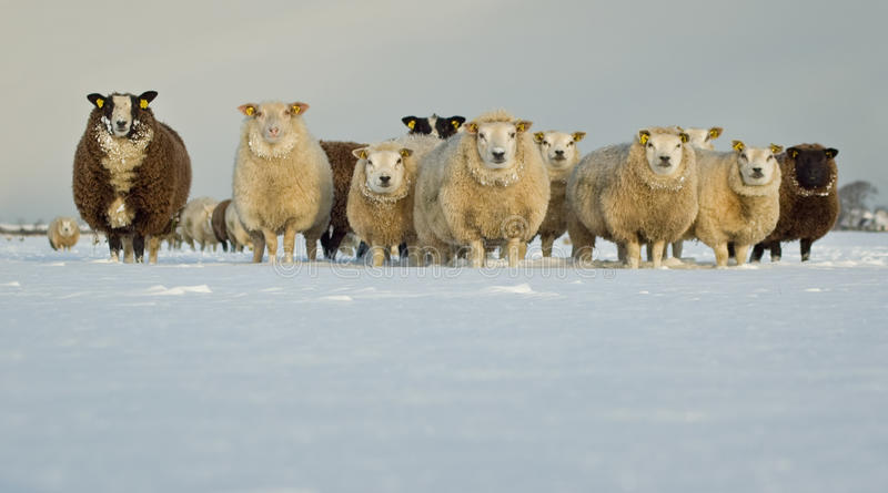 Moutons dans la neige photos libres de droits