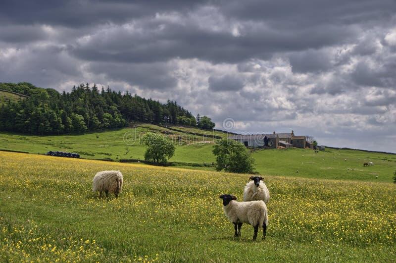 Moutons dans la prairie de fauche anglaise photo stock