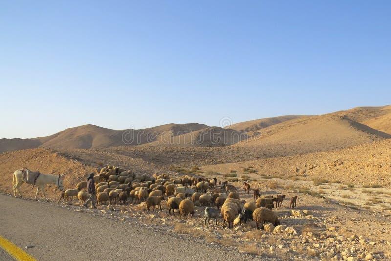 Moutons dans le désert photographie stock libre de droits