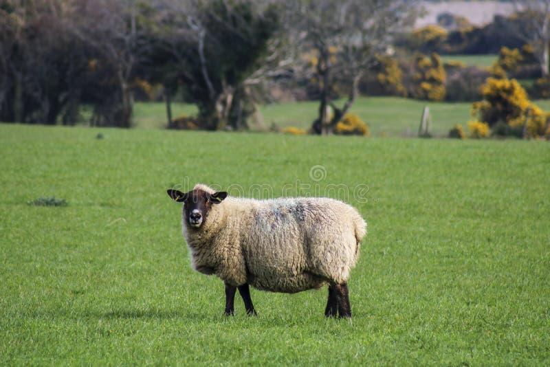 Moutons dans le domaine images stock