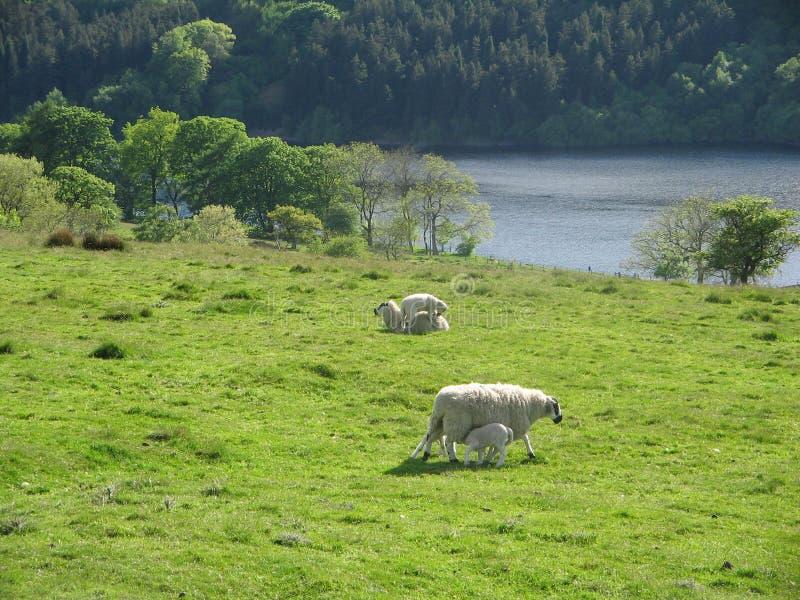 Moutons dans le pays photos stock
