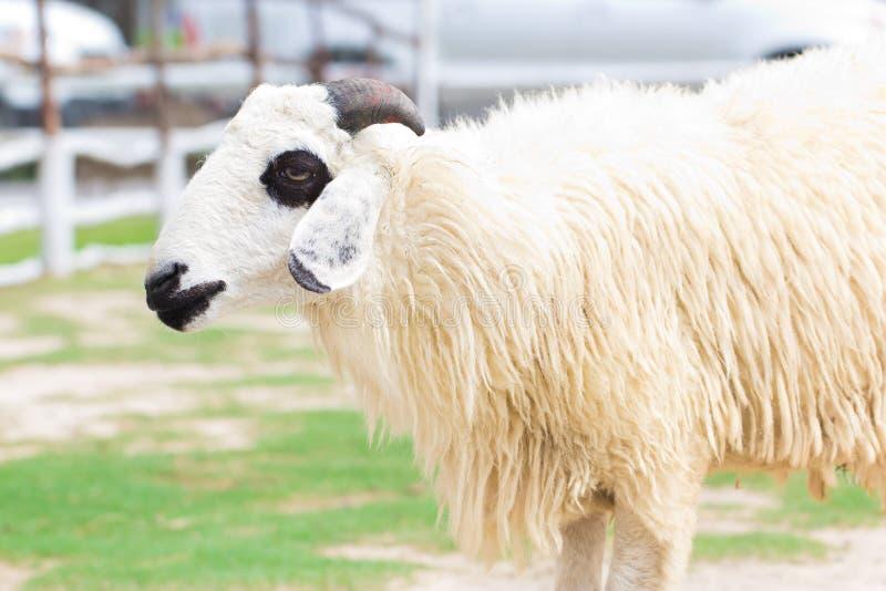 Moutons Dans Le Pré Vert Images libres de droits
