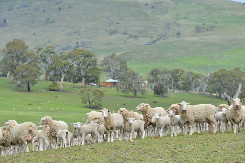Moutons dans le ranch images stock