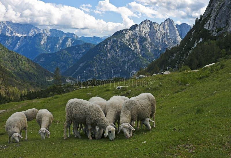 Moutons dans les Alpes, Slovénie image libre de droits