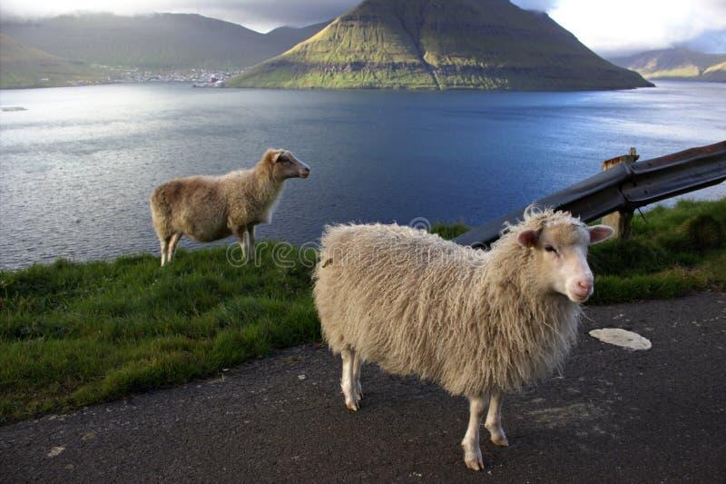 Moutons dans les Iles Féroé images libres de droits