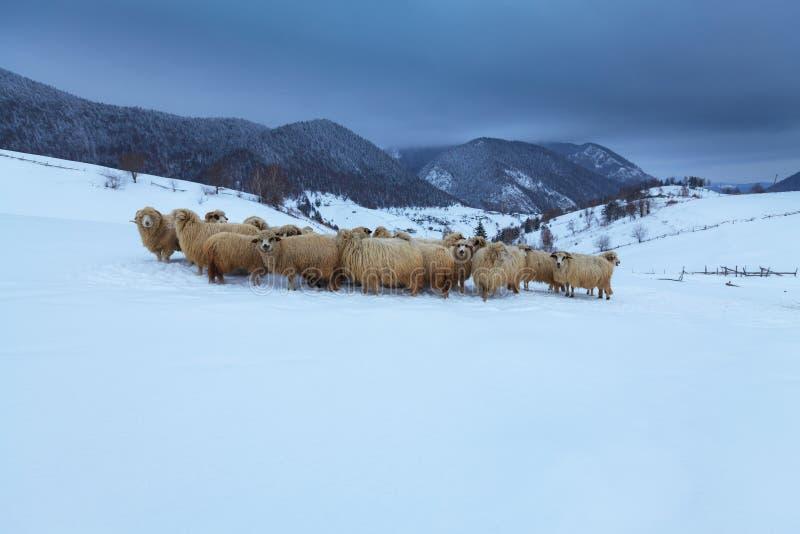 Moutons dans les montagnes en hiver photographie stock