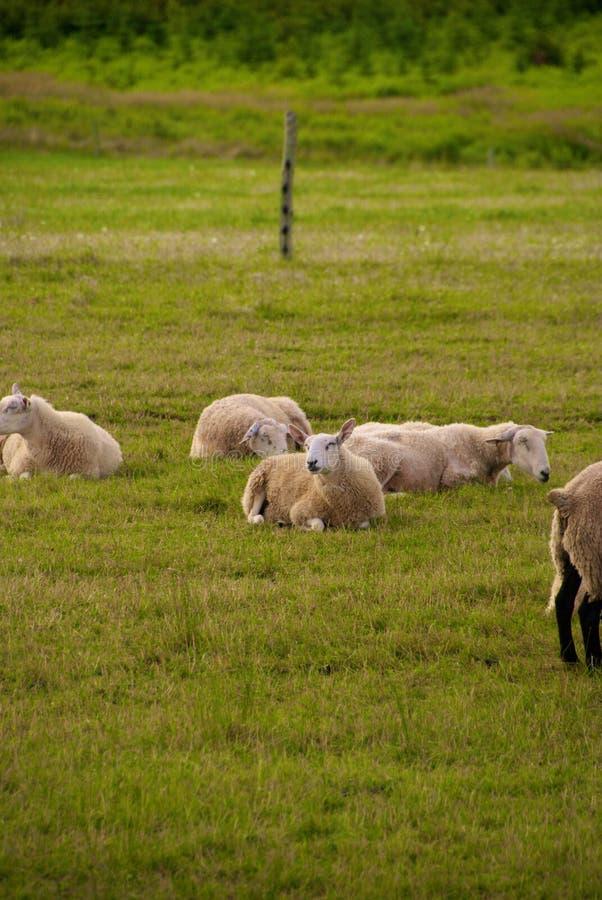 Moutons dans un domaine image libre de droits