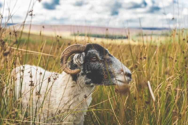 Moutons dans un domaine d'herbe photo stock