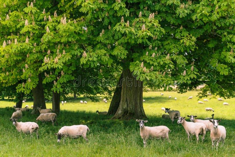 Moutons dans un domaine maintenant frais image stock